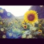 Instamix: Sunflower fields, Sister's wedding & Major Foodfest