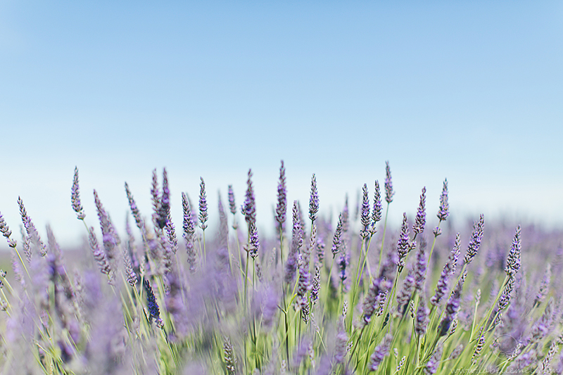 LaBelleMel_Provence_Lavender_Swing_Dress_3