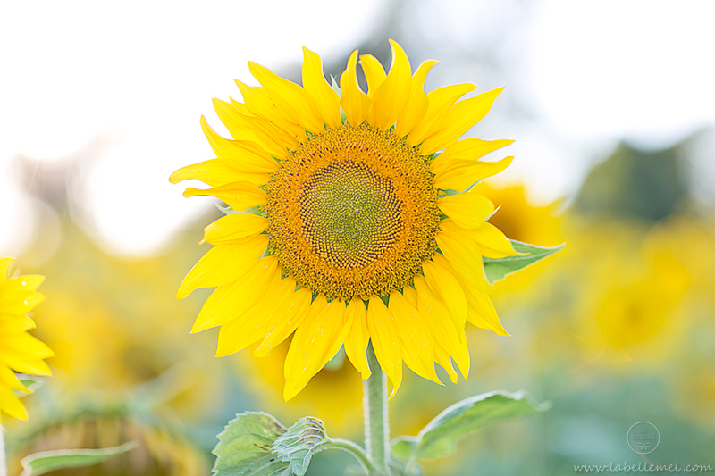 LaBelleMel_Sunflower_Fields_Casual_Daisy_Dress_14